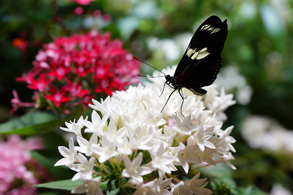美洲蛺蝶 Heliconius-1