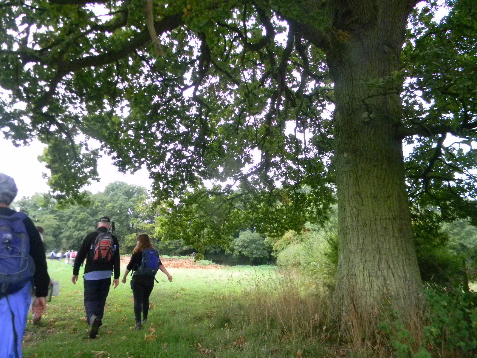 Big tree Hever to Ashurst