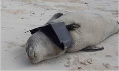剛斷奶幼僧海豹遭到塑膠纏繞,2013年春天攝於中途島。(照片:美國漁業暨野生物局(USFWS)。)