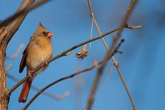 Cardinal Rouge - Northern cardinal [female]