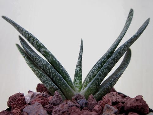 Gasteria carinata v. carinata, Mossel Bay by juan_y_ana