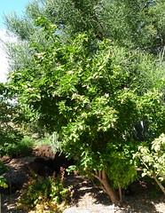 20140117_KapiolaniCC-CactusGarden_Pereskia-maybeGrandiflora_Cutler_P1630593