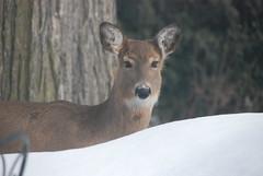 Deer Looks up