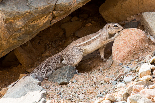 Ground squirrel by andiwolfe