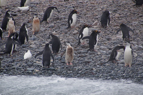 537 Kinband en macaronipinguins