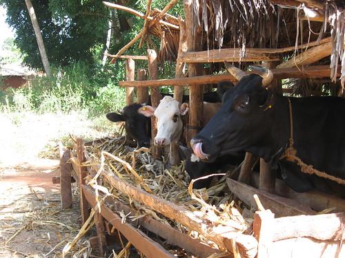 Maize stover in Tanzania