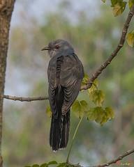 Plaintive Cuckoo Male (Cacomantis merulinus) (DTHN0167) นกอีวาบตั๊กแตน เพศผู้
