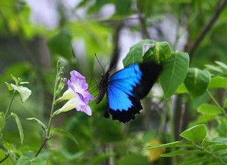 Blue Beauty on Purple Flowers (Ulysses Butterfly)
