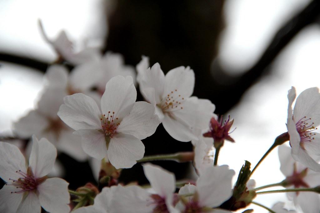 Sakura close-up
