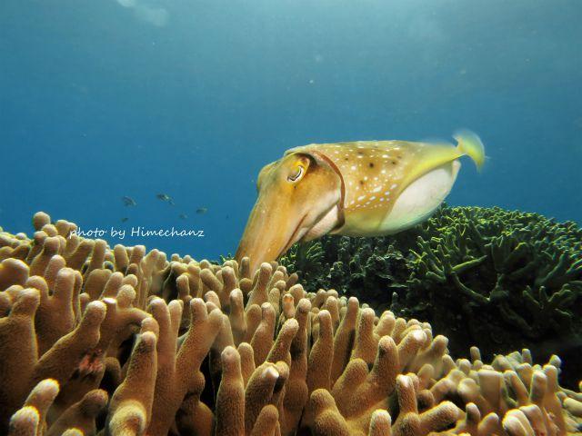 コブシメの産卵シーン