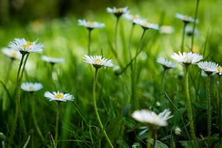 A daisy's POV