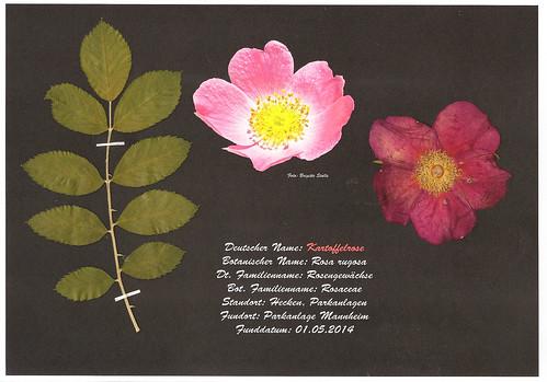 Brigitte Stolle Mannheim Kartoffelrose Rosa rugosa Herbarium Rezept Gelee Rosenblütengelee