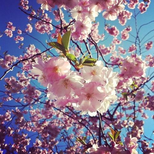 Alla är körbärsträdsfotografer.