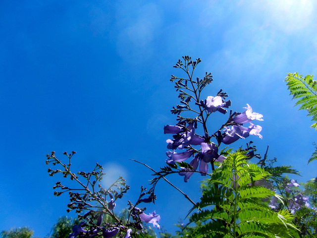 jacaranda and blue sky