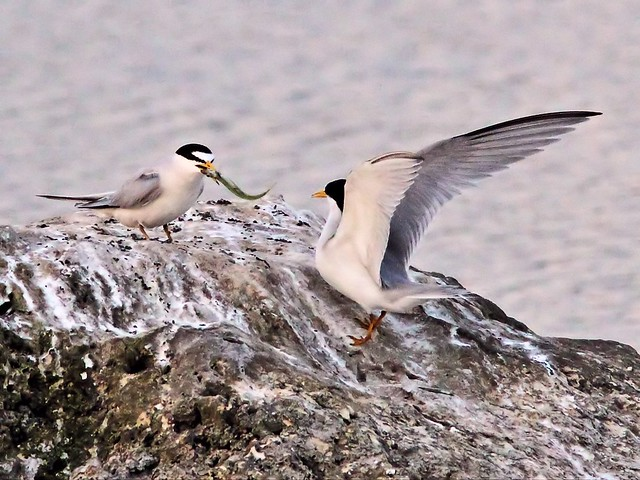Least Tern female accepts fish from bonded male 14- 20140428