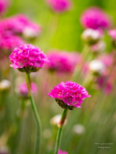 Grasnelken in pink