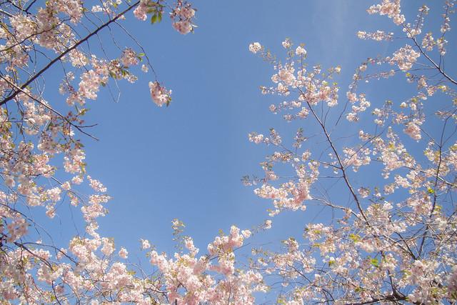 sakura in stockholm 08