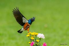 10栗頭麗椋鳥