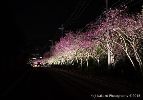 今帰仁グスク桜まつり | Okinawa #04