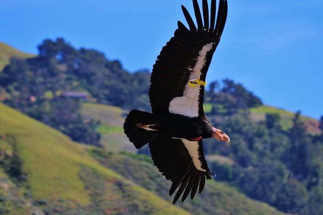 Condor Flyover