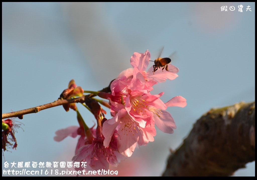台大鳳凰自然教育園區櫻花DSC_6003