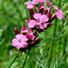Dianthus (Peter Cullens)