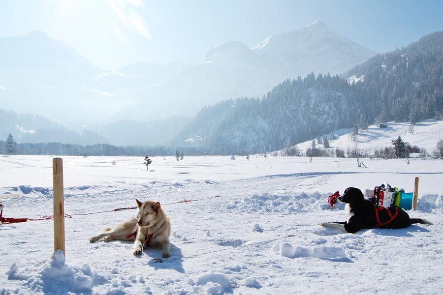 Balade chiens de traineau chiens de traineau (14)