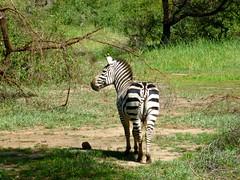 zebra, mammal, fauna, jungle, savanna, safari, wildlife,