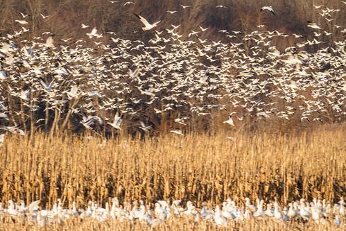birds us geese content places delaware folder takenby bombayhook 2015 snowgoose peterscamera petersphotos canon7d 2015feb 20150203delawarebirds