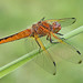 Female Scarce chaser by Roger H3
