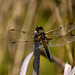 Four-spotted Chaser by Ady Mac