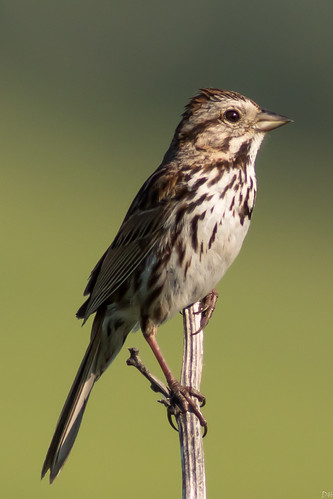 songsparrow larchwood iowa unitedstates us