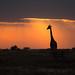 Girafe au crépuscule by www.sophiethibault.ca