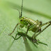 Cute Baby Cricket