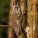 Long eared owl by den9112