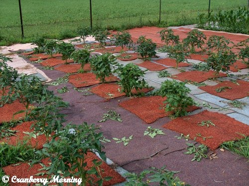 The Carpeted Garden from Cranberry Morning.