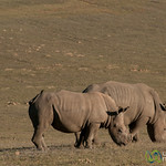 Horn-less Rhinos at Buffelsfontein Private Reserve - Western Cape, South Africa