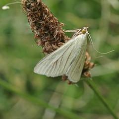 Sitochroa palealis moth