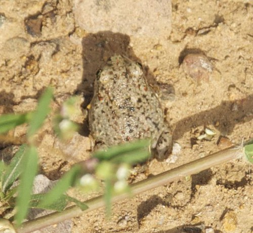 Mexican Spadefoot top