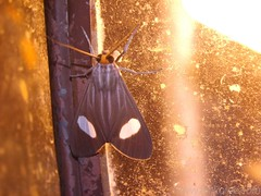Tiger Moth - (sub)family Arctiidae