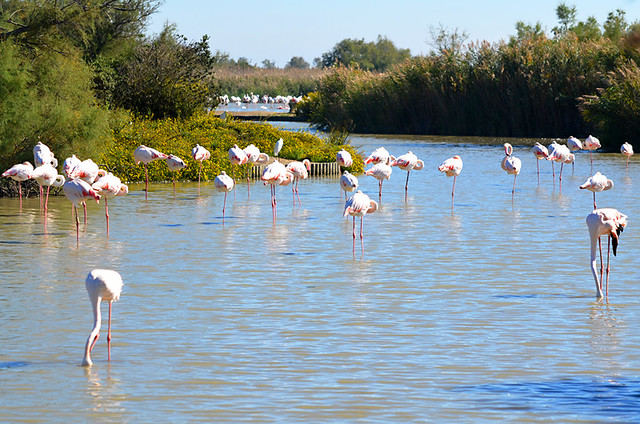Flamingoes, Ornithological Park, Saintes Maries de la Mer, Camargue, France