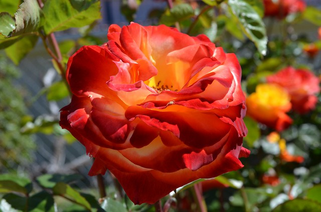 SoulRiser - Flowers & Roses