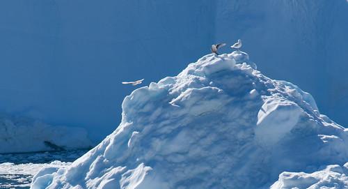 three bird iceberg2