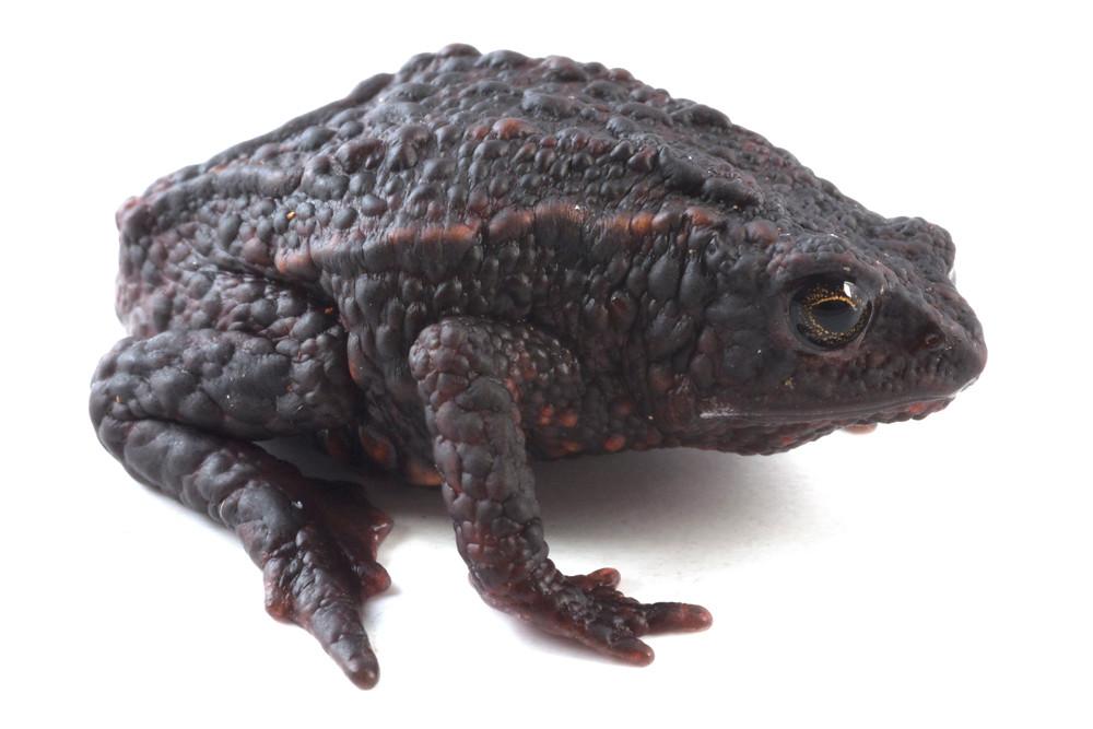 <i>Osornophryne bufoniformis</i> Osornosapo bufoniforme ♀