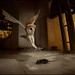Barn Owl (Tyto alba) hunting at church bell tower by Chris Jimenez Nature Photo