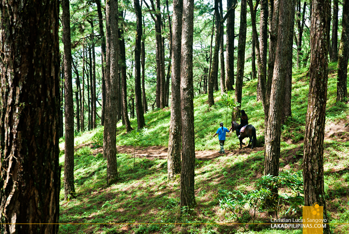 Baguio City's Pine Forest