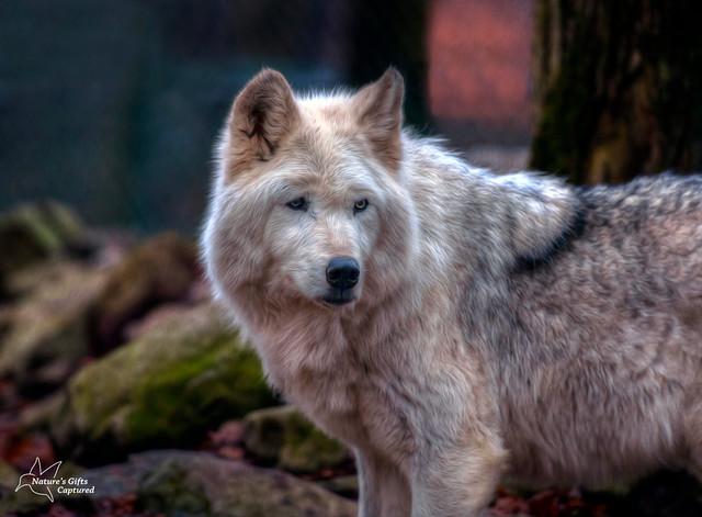 Lakota Wolf Preserve - Tundra Wolf
