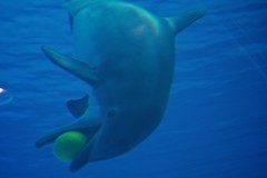 animal, marine mammal, common bottlenose dolphin, marine biology, azure, dolphin, tucuxi,