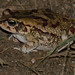 Small photo of Eastern Olive Toad (Amietophrynus garmani)