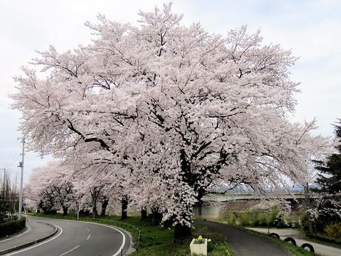松川堤防の桜(2010/4/16)